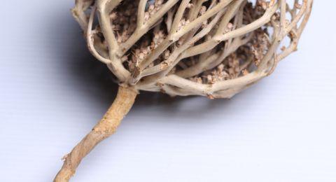 Benarkah Rumput Fatima Mempercepat Induksi Persalinan?